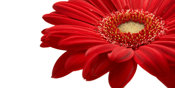 detail of red gerbera